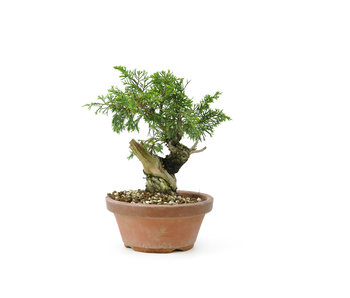 Chinese juniper (itoigawa), 16,5 cm, ± 12 years old