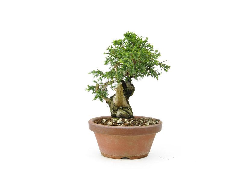 Chinese juniper (itoigawa), 16,5 cm, ± 12 years old