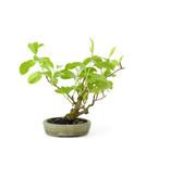 Katsura, 20 cm, ± 10 jaar oud