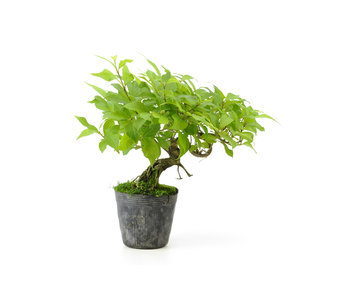 Japanese mulberry, 20 cm, ± 11 years old