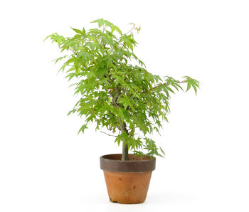 Japanese maple, 32 cm, ± 8 years old