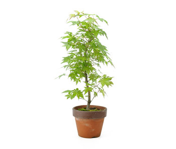 Japanese maple, 34 cm, ± 8 years old