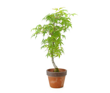 Japanese maple, 37 cm, ± 8 years old