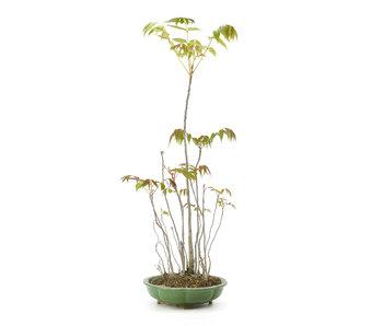 Fluweelboom, 63 cm, ± 12 jaar oud