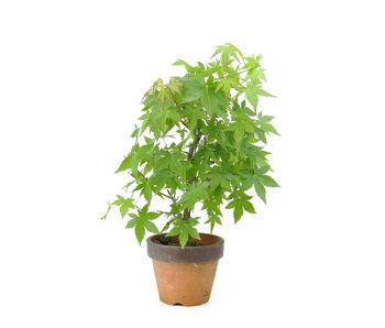 Japanese maple, 33 cm, ± 8 years old