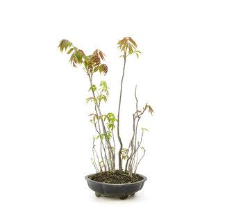 Fluweelboom, 52 cm, ± 12 jaar oud