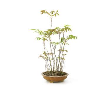 Fluweelboom, 46 cm, ± 12 jaar oud