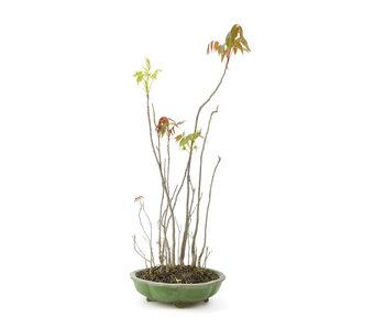 Fluweelboom, 52,1 cm, ± 12 jaar oud