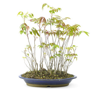 Fluweelboom, 38 cm, ± 12 jaar oud