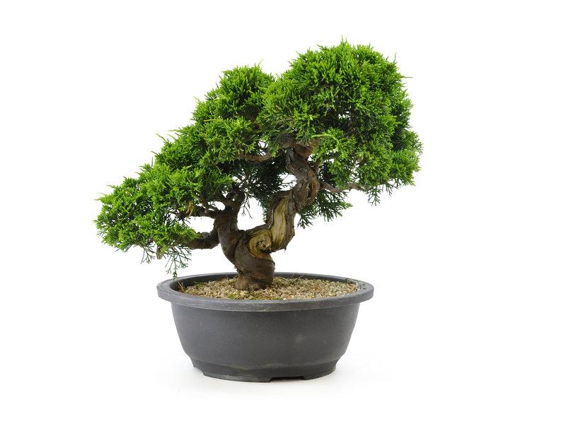 Chinese jeneverbes (itoigawa), 25 cm, ± 20 jaar oud