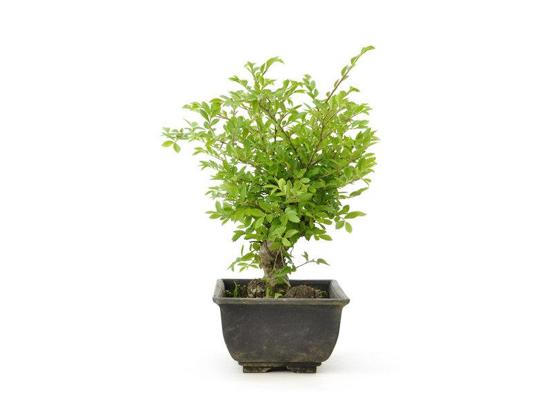 Chinese Iep, kleinbladerig met kurk, 16,5 cm, ± 7 jaar oud