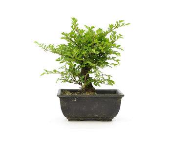 Olmo di corteccia di sughero con foglie piccole, 15 cm, ± 7 anni