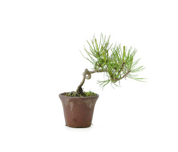 Japanese red pine, 11 cm, ± 8 years old