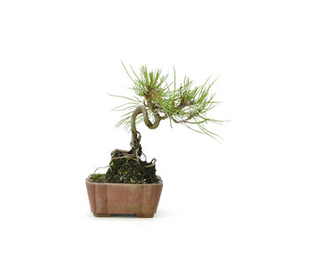 Japanese red pine, 13 cm, ± 8 years old