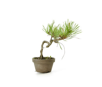 Japanese red pine, 12,1 cm, ± 8 years old