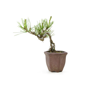 Japanese red pine, 12,2 cm, ± 8 years old