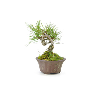 Japanese red pine, 10,1 cm, ± 8 years old