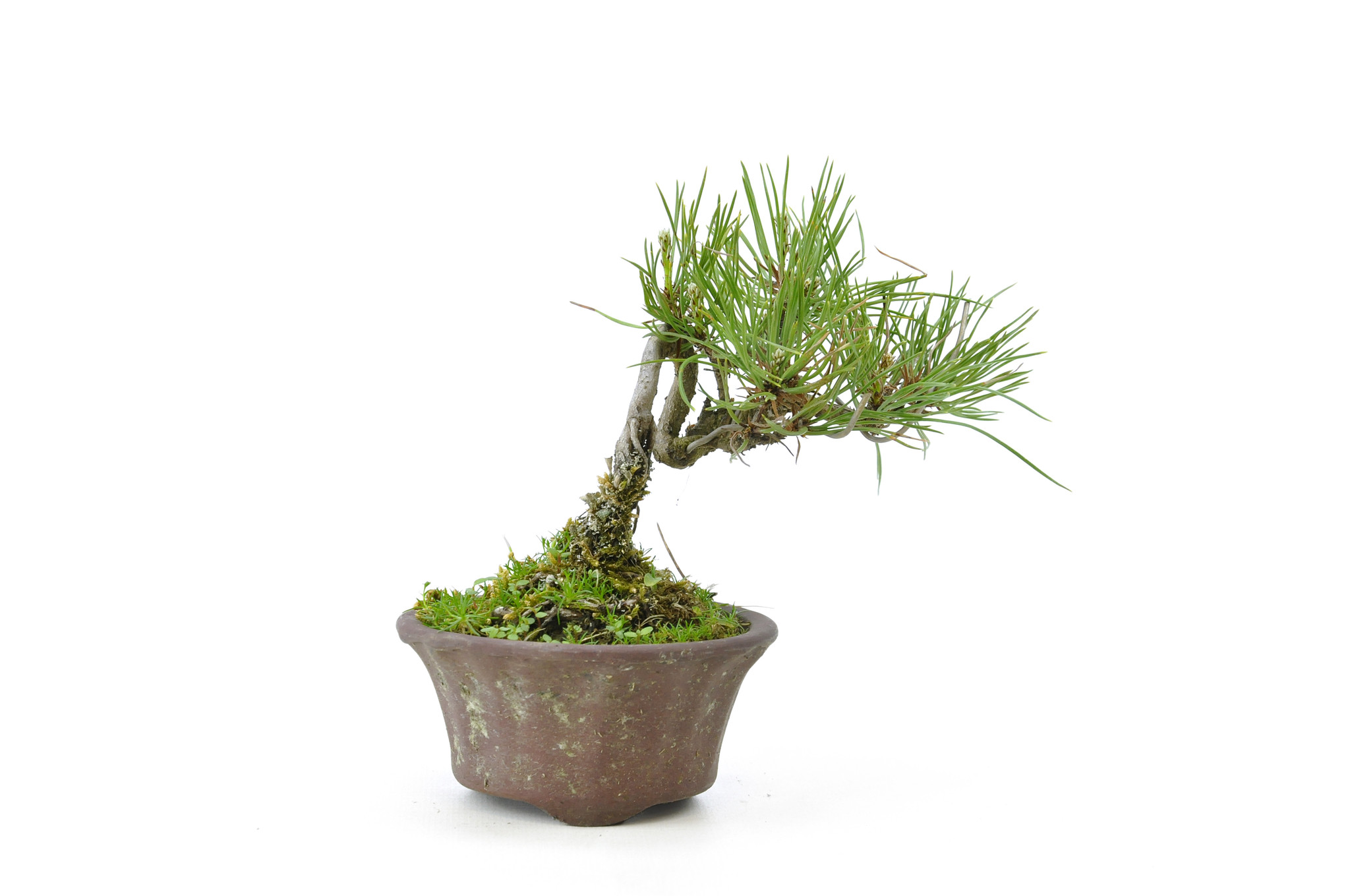Japanese Red Pine 10 1 Cm 8 Years Old Bonsaiplaza