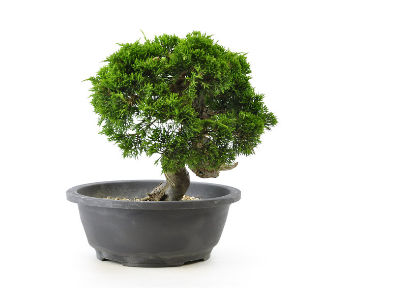 Chinese jeneverbes (itoigawa), 21 cm, ± 20 jaar oud