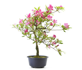 Azalea japonesa, 35 cm, ± 8 años.