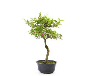 Azalea japonesa, 32 cm, ± 8 años.