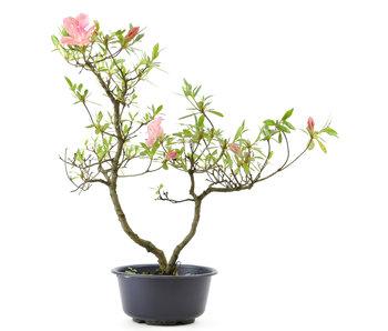 Azalea japonesa, 38 cm, ± 8 años.