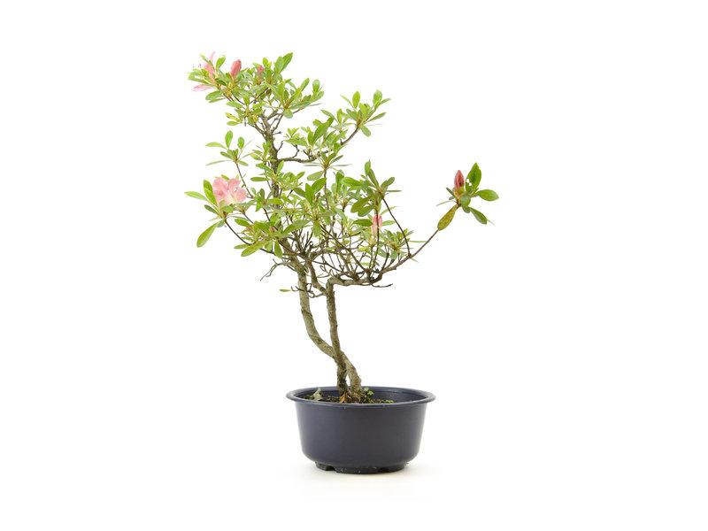 Japanse azalea, 38 cm, ± 8 jaar oud, met lichtroze bloemen