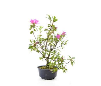 Azalea japonesa, 29 cm, ± 8 años.