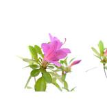 Japanse azalea, 29 cm, ± 8 jaar oud, met donkerroze bloemen