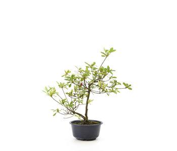 Azalea japonesa, 34 cm, ± 8 años.