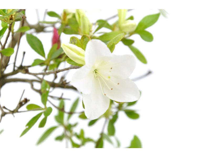 Japanse azalea, 34 cm, ± 8 jaar oud, met witte en roze bloemen