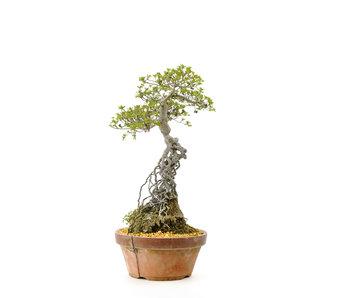 Azalea japonesa, 40 cm, ± 20 años.
