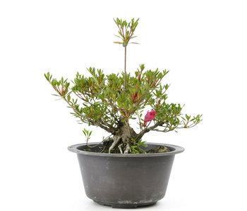 Azalea japonesa (Korin), 15 cm, ± 15 años.