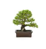 Chinese juniper (itoigawa), 22 cm, ± 15 years old