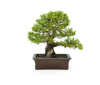 Chinese juniper (itoigawa), 22 cm, ± 15 years old