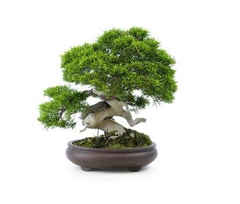 Chinese jeneverbes (itoigawa), 25 cm, ± 35 jaar oud