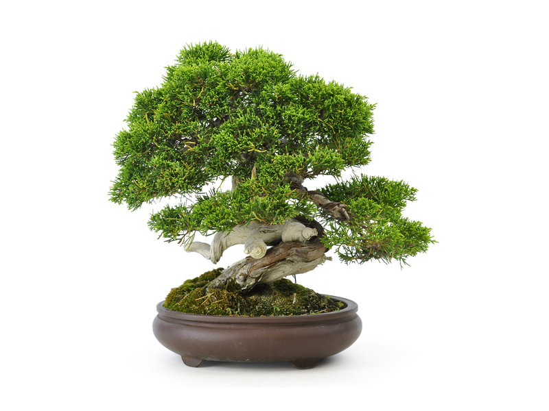 Chinese jeneverbes (itoigawa), 25 cm, ± 35 jaar oud, met een prachtige beweging