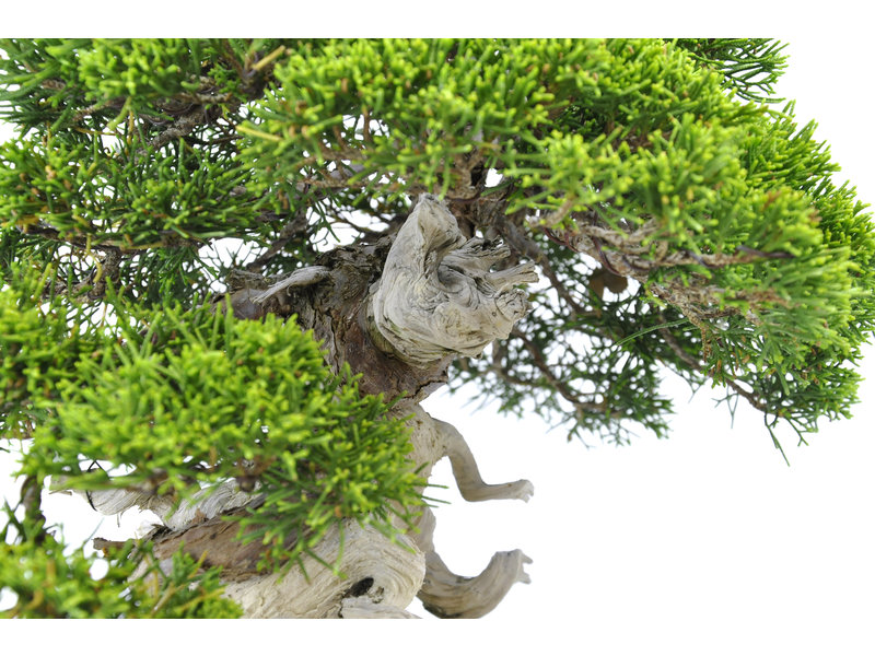 Chinese juniper (itoigawa), 25 cm, ± 35 years old, with a beautiful movement