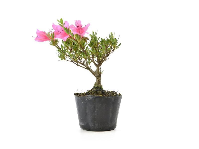 Japanse azalea (Chinzan), 16,3 cm, ± 6 jaar oud, met donkerroze bloemen