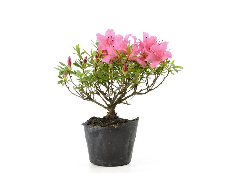Japanse azalea (Chinzan), 16,4 cm, ± 6 jaar oud, met donkerroze bloemen