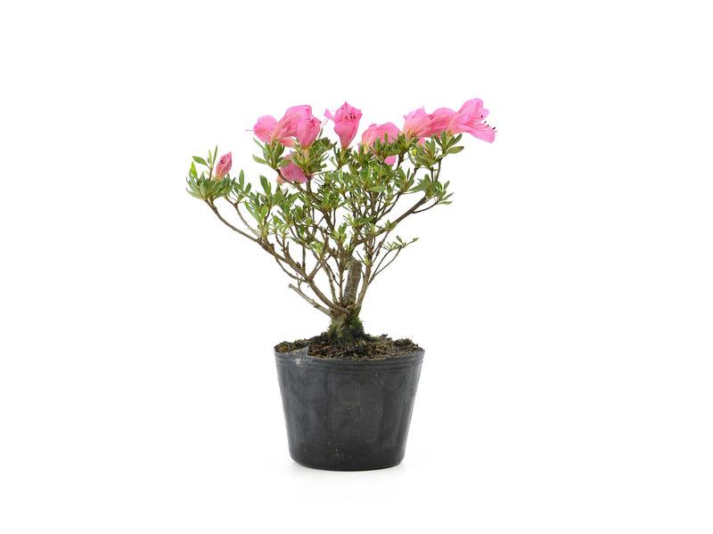 Japanse azalea (Chinzan), 16,8 cm, ± 6 jaar oud, met donkerroze bloemen