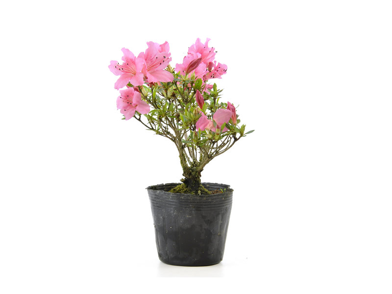 Japanse azalea (Chinzan), 16,9 cm, ± 6 jaar oud, met donkerroze bloemen