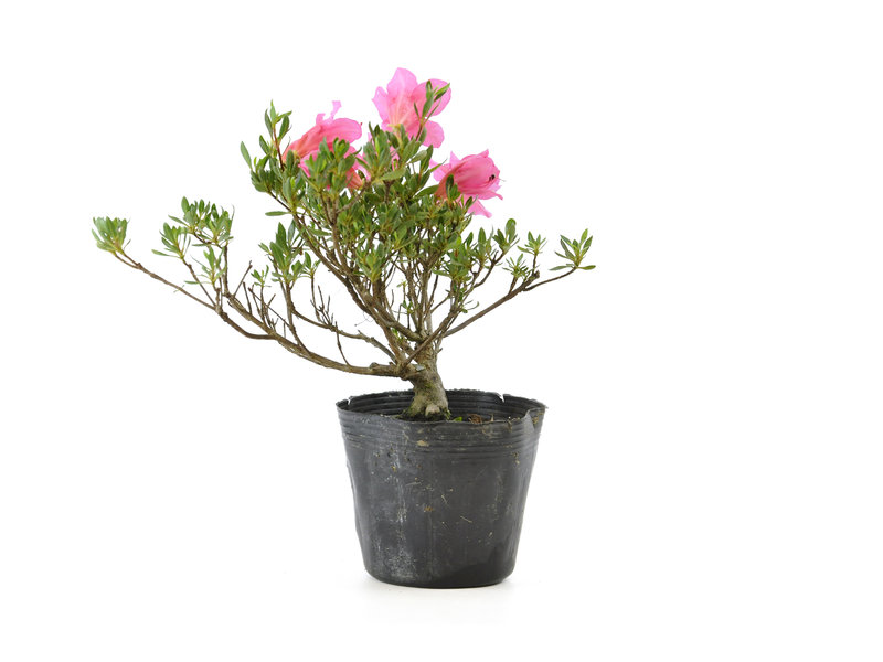 Japanse azalea (Chinzan), 17 cm, ± 6 jaar oud, met donkerroze bloemen