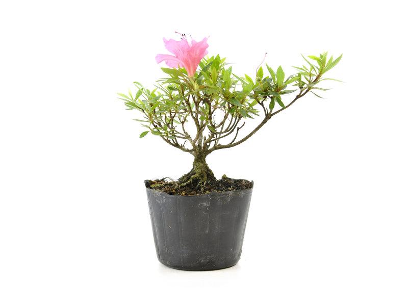 Japanse azalea (Chinzan), 17,1 cm, ± 6 jaar oud, met donkerroze bloemen