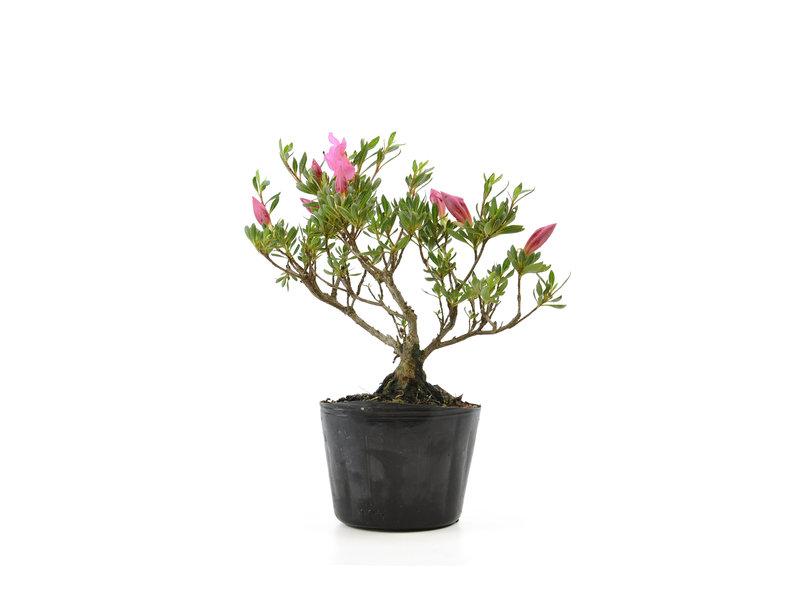 Japanse azalea (Chinzan), 17,4 cm, ± 6 jaar oud, met donkerroze bloemen