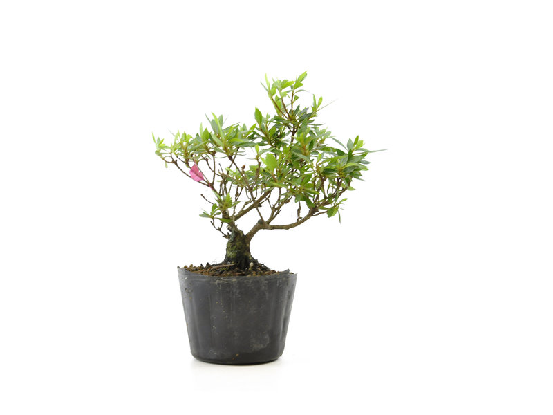 Japanse azalea (Chinzan), 17,6 cm, ± 6 jaar oud, met donkerroze bloemen