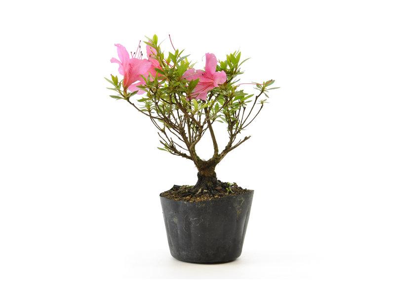Japanse azalea (Chinzan), 17,7 cm, ± 6 jaar oud, met donkerroze bloemen