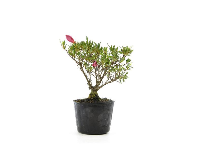 Japanse azalea (Chinzan), 17,8 cm, ± 6 jaar oud, met donkerroze bloemen