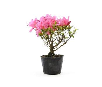 Japanese azalea (Chinzan), 18 cm, ± 6 years old