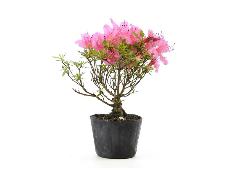 Japanse azalea (Chinzan), 18 cm, ± 6 jaar oud, met donkerroze bloemen